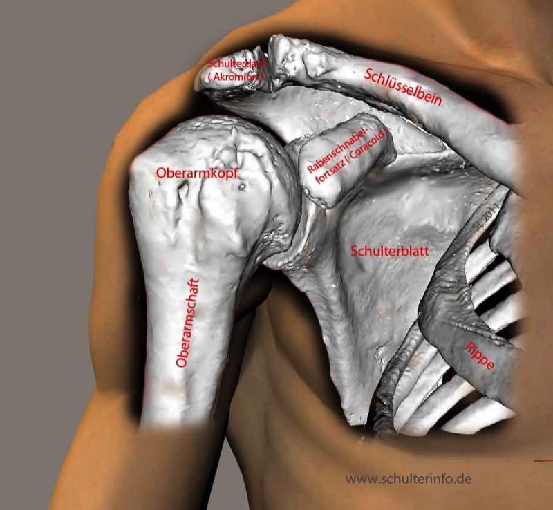 Schulter - Anatomie